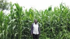 1m도 못자라 갈아엎기 일쑤…옥수수의 눈물, 케냐의 눈물