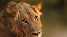 동물보호구역서 사냥하던 밀렵꾼, 사자에 잡아먹혀