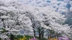 서울은 지지만, 용인 산중 벚꽃은 이번 주말 만개