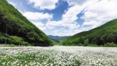 여름날 야생화 '가을의 향기' 태백산~백운산 고원을 거닐다