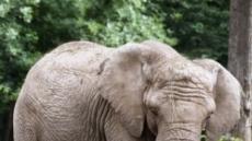 덩치값 못하는 코끼리…벌 앞에선 쩔쩔매는 이유