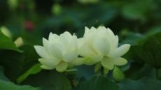 폭염 덕에 길게 피는 연꽃…두물머리 홍련-백련 절정