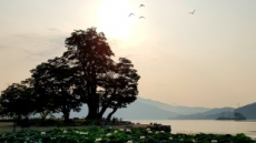 [포토뉴스] 폭염을 사랑하는 연꽃, 두물머리 만개