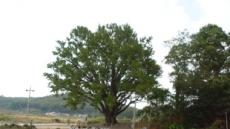 남과 북 헤어진 부부 은행나무 상봉의례 복원