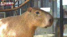 '물돼지' 카피바라 어떤 동물?…'사교성 갑' 일부다처 초식성 동물