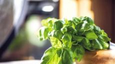 매혹적인 초록빛, 더 매혹적인 향기…바질, 먹을수록 끌리네