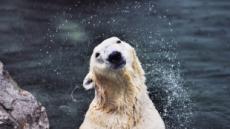 국내 유일 북극곰 '통키' 노후는 영국서…