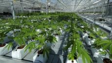캐나다, 17일부터 대마초 합법화…산업ㆍ투자 '들썩'