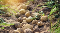 '땅속의 사과' 감자 생고구마처럼 먹어도 될까?
