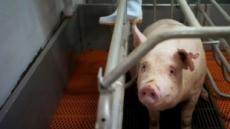 中, 아프리카 돼지열병 급속 확산…우리나라 영향은