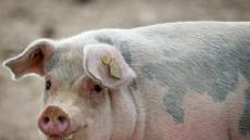 """전국 돼지 농가, 오는 16일 일제 청소…""""구제역·ASF 예방"""""""