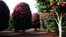 동지섣달 꽃 보는, 12월의 제주 명소들