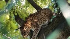 인도 승려, 숲 속 명상 중 표범에 물려 사망