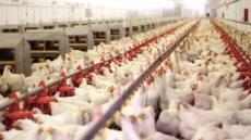 인간 항생제로 키운 닭, 인간을 공격하다