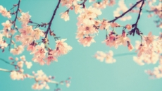 벚꽃과 함께…고궁서 즐기는 '클래식 만찬'