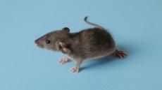 '쥐'들이 뉴욕을 점령했다…도시개발ㆍ기후변화 탓