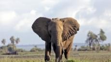 """보츠나와, 코끼리 사냥 금지 해제 수순…""""개체 너무 늘었다"""""""