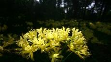 국립수목원, 그리움의 대명사 '상사화' 개화···붉노랑상사화 등 활짝
