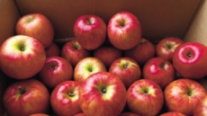 사과, 꼭지 싱싱한 걸로…배는 '원황'·'황금배' 등 품종부터 확인을