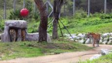 토종여우 복원·백두산 호랑이 보전…큰 꿈 꾸는 영주·봉화