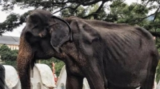 비쩍 마른 몸 감추고 축제동원…'70년 노예' 스리랑카 코끼리 결국 사망