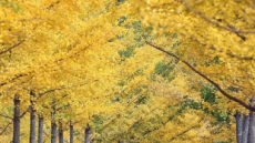 1년에 딱 10월만 개방…단풍명소 '홍천 은행나무 숲' 가볼까