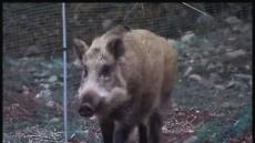 """한돈협회 """"연천 돼지 살처분 반대…야생 멧돼지부터"""""""