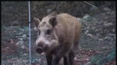 [아프리카돼지열병 한 달] 멧돼지發 돼지열병 '창궐' 우려…전국 확산 시간문제