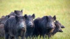 멧돼지 떼의 기습공격…美 50대 여성 집앞서  참변