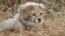 '라이프 오브 사만다' 새끼 치타를 잃은 어미 치타의 울음에서 공감한 눈물