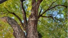 양잠에서 약이 된 뽕나무, 300살 상주나무 천연기념물로