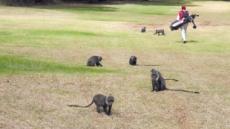 [백상현의 세계 100대 골프 여행 - 케냐의 보물 카렌 & 윈저CC]관리 잘 된 카렌…영화 배경으로 '유명' 도전적인 윈저…'원숭이와 라운드' 재미