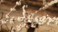 다시 봄, 홍릉숲 물들이는 하얀 봄꽃···평균기온 상승해 예년보다 일찍 개화