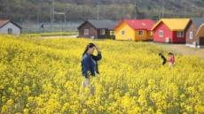 동해 망상에 만발한 유채꽃, 봄이 오긴 했나 봄