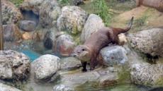 물에서 자는 수달·수영 즐기는 호랑이…물 만난 동물들