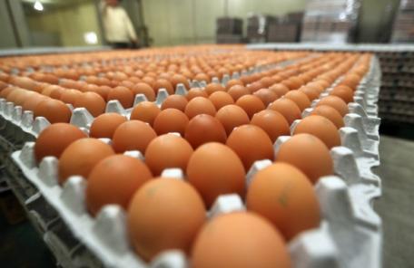 'A4용지 닭장' 밀집사육의 저주…전염병 이어 살충제 계란까지