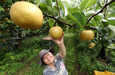 [포토뉴스] 추석을 그리다…지리산 햇배 첫 수확