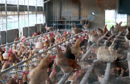 계란 이어 닭에서도 '최악의 살충제' DDT 검출…