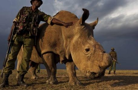 북부흰코뿔소 사실상 멸종…마지막 수컷 건강악화로 안락사