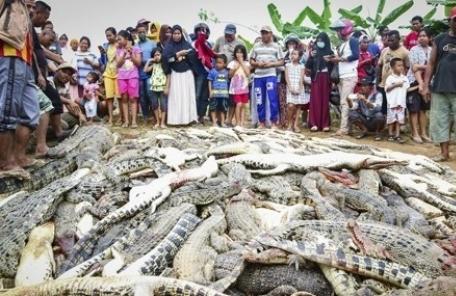 인도네시아서 '피의 복수' …이웃 해친 악어 292마리 몰살