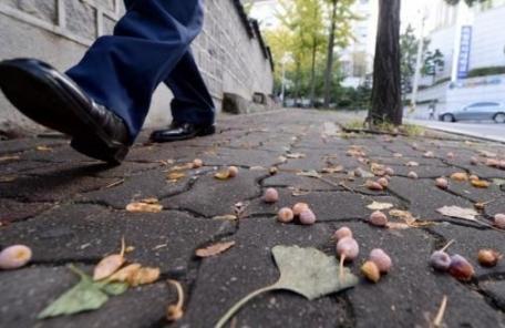 [뉴스탐색]가을철 도심 가로수 은행 먹어도 될까?