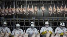 [닭이 뭐길래 ②] 치킨시장 요동치게 한 브라질發 썩은 닭