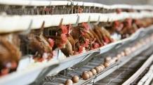 (1200) '알낳는 닭' 2000만마리 감소…양계산업 최대위기