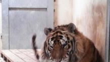 서커스단 호랑이 탈출…거리 활보하다 사살