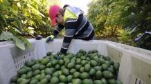 (사진)체리ㆍ아보카드에 빠진 中 중산층…세계 농업생산지도도 바꾼다