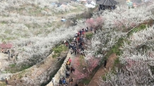남도에 부는 봄바람…광양 매화축제 3월 17일 '활짝'