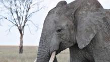 전세계 코끼리 씨 말리는 중국…멸종 우려도