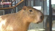 실검 등장 '물돼지' 카피바라는…'사교성 갑' 일부다처 초식성 동물