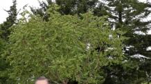 """[평양회담]문대통령, 백화원에 모감주나무 식수…文 """"모감주나무는 번영을 의미"""""""