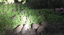야생 멧돼지 10월부터 본격 출몰…피해 주의